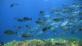 School of Unicornfishes on a coral reef. School of Unicornfishes on a colorful coral reef stock video footage