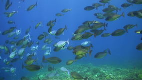 School of Unicornfishes on a coral reef. School of Unicornfishes on a colorful coral reef stock video