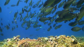 School of Unicornfishes on a coral reef. School of Unicornfishes on a colorful coral reef stock footage