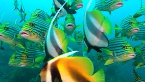 School of unique exotic bright yellow striped fish underwater in Maldives. stock video footage