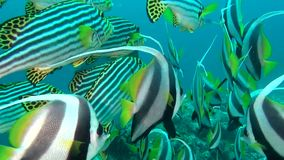School of unique exotic bright yellow striped fish underwater in Maldives. stock footage