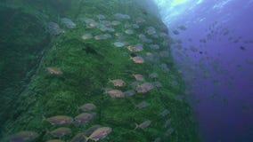 School van Bigeye trevally sexfasciatus van Caranx op het eiland van Roca Partida van Revillagigedo-Archipel stock footage