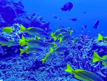 School van Blauwe Gestreepte Snapper Gele Tropische Vissen Onderwater Stock Afbeeldingen