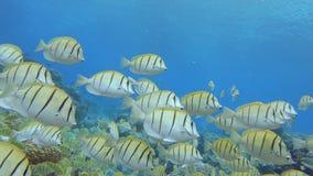 School van Chirurg Fish stock footage