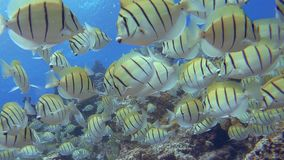School van Chirurg Fish stock videobeelden