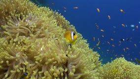 School van clownvissen in het Prachtige onderwater Rode overzees van anemoonstichodactylidae stock video