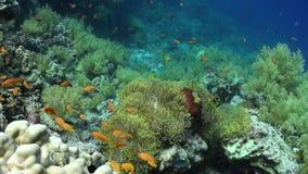 School van clownvissen in het Prachtige onderwater Rode overzees van anemoonstichodactylidae stock videobeelden