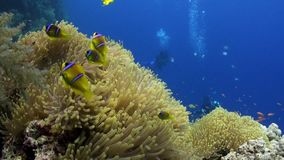 School van clownvissen in het Prachtige onderwater Rode overzees van anemoonstichodactylidae stock footage