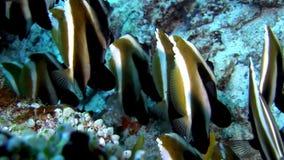 School van gestreepte vlindervissen onderwater op achtergrond van zeebedding in de Maldiven stock footage