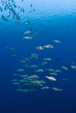 School van grote vissen Royalty-vrije Stock Afbeelding