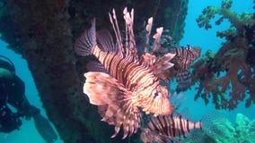 School van het wrak van de duikernside van Leeuwvissen iand in Rode overzees stock video