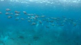 School van Humphead Parrotfishes op een koraalrif Stock Afbeelding
