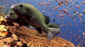 School van kleurrijke vissen en grote sweetlips op ertsader stock video