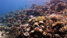 School van kleurrijke vissen in koraalrif onderwater Rode overzees stock footage
