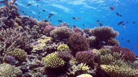 School van kleurrijke vissen op achtergrond van koraalriflandschap onderwater stock videobeelden