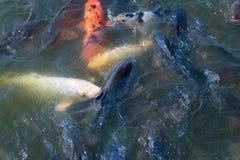 School van Koi Fish Stock Fotografie