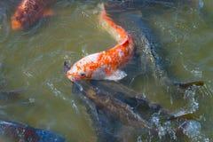 School van Koi Fish Stock Foto
