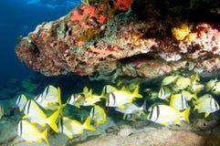 School van Porkfish stock foto's