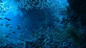 School van Rode overzeese vissen stock videobeelden