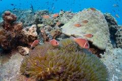 School van roze perideraion van anemonefishamphiprion in een anemon royalty-vrije stock foto