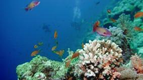 School van tropische vissen in een kleurrijk koraalrif met waterspiegel op achtergrond, Rode overzees, Egypte stock video