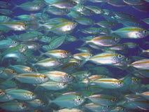 School van vissen Royalty-vrije Stock Afbeeldingen