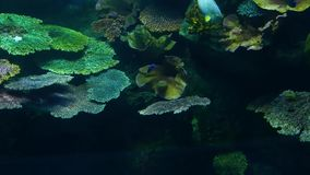 School van vissen van diverse species die in schoon blauw water van groot aquarium zwemmen Het mariene onderwater tropische leven stock footage