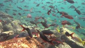 School van vissen in Los Isoletes overzees van eilandcortez La Paz stock videobeelden