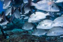 School van vissen onderwater Royalty-vrije Stock Fotografie