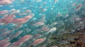 School van vissenbigeye Trevallies (Tursiops beknot) ertsaders Bali stock videobeelden