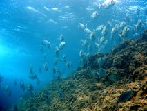 School of white seabream near surface. School of white seabream with water surface in background royalty free stock photo