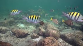 School of Whitespotted Surgeonfish Acanthurus guttatus and Indo-Pacific sergeant Abudefduf vaigiensis in Los Isoletes island stock video