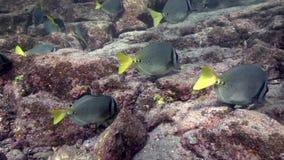 School of whitespotted surgeonfish acanthurus guttatus in Los Isoletes island Cortez sea La Paz stock video footage