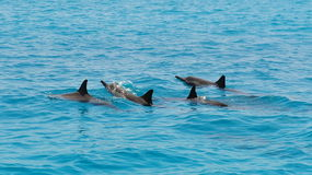School of wild dolphiins swimming in the Laccadive sea Royalty Free Stock Photos