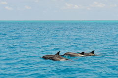 School of wild dolphiins swimming in the Laccadive sea Stock Photo