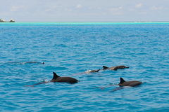 School of wild dolphiins swimming in the Laccadive sea Stock Photos