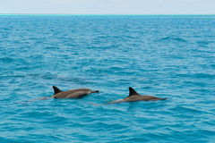 School of wild dolphiins swimming in the Laccadive sea Stock Photography