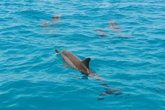 School of wild dolphiins swimming in Maldives Royalty Free Stock Images