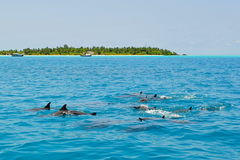 School of wild dolphins swimming in Maldives Royalty Free Stock Photo
