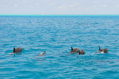 School of wild dolphins swimming in Maldives Royalty Free Stock Photos