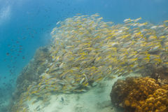 School of Yellow band fusilier at Kood island. In Thailand Stock Photo