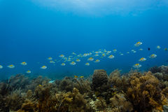 School of yellow and black banded fish swim in straight line above coral reef Royalty Free Stock Photography