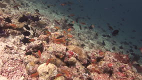 School of yellow black fish on background corals underwater in sea of Maldives. stock footage