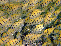 School of yellow damselfish, Mirihi, Maldives Royalty Free Stock Photography