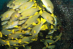 School of yellow fish Stock Photos