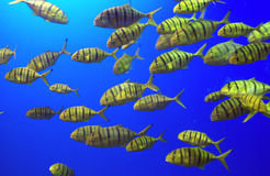 A School of Yellow Fish Stock Photo