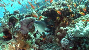 School of yellow fish on background underwater landscape in Red sea. Swimming in world of colorful beautiful world of coral reefs and algae. Inhabitants in stock video footage