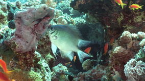 School of yellow fish on background underwater landscape in Red sea. Swimming in world of colorful beautiful world of coral reefs and algae. Inhabitants in stock footage
