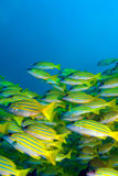 School of Yellow Fishes, Maldives Stock Photography