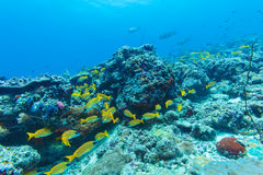School of Yellow Fishes, Maldives Stock Image